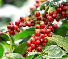 The aromas and the taste of coffee. Arabica vs Robusta