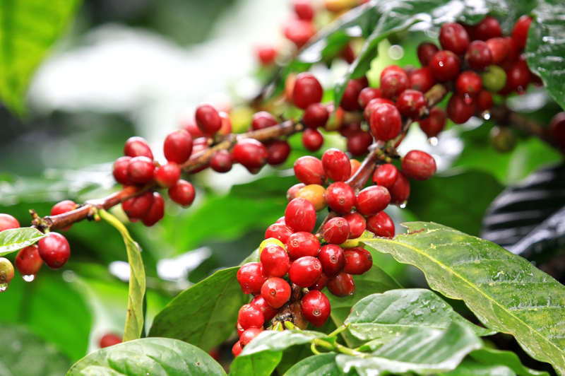 The Plant of Coffea